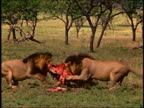 Medium shot three male lions pull on the bloody carcass of an animal w/trees in background