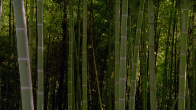 Medium shot tilt up from tree trunks to treetops in bamboo grove / Hagi, Yamaguchi Prefecture, Japan