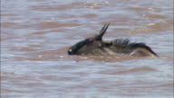 Medium shot tracking shot migrating wildebeest swimming across river / Masai Mara, Kenya