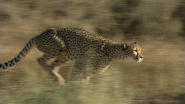 Medium shot tracking shot side view of cheetah sprinting / Cape Town, South Africa