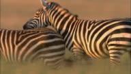 Medium shot tracking shot zebra running through herd / being chased by another zebra / sunset / Masai Mara, Kenya