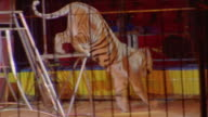 Medium shot trainer commanding tigers to leap around in cage at Circo Atayde Hermanos / Mexico