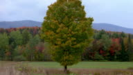 Medium shot tree w/autumn leaves in field w/large forest in background / Vermont