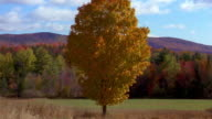 Medium shot tree w/orange autumn leaves in field w/large forest in background showing trees w/autumn colors / Vermont