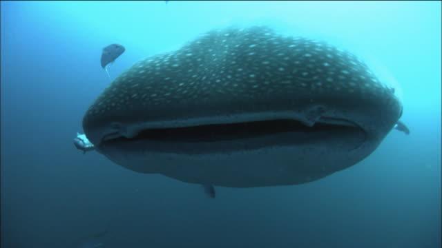 Medium shot whale shark swimming over CAM / divers swimming behind it/ Galapagos Islands, Ecuador