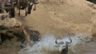 Medium shot wildebeests jumping off riverbank into water during migration / Africa