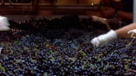 Medium shot workers taking leaves out of grapes on conveyer belt at Robert Mondavi Winery/ Napa Valley, California