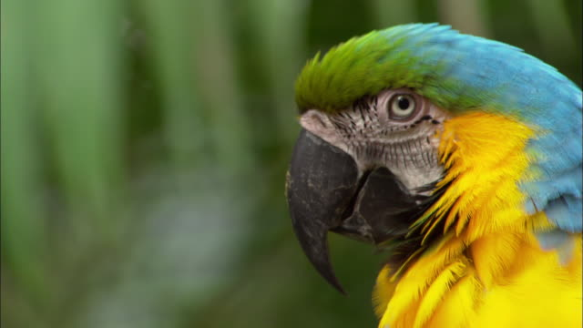 Medium shot zoom in blue, yellow and green macaw / looking at camera / Sarchi, Costa Rica