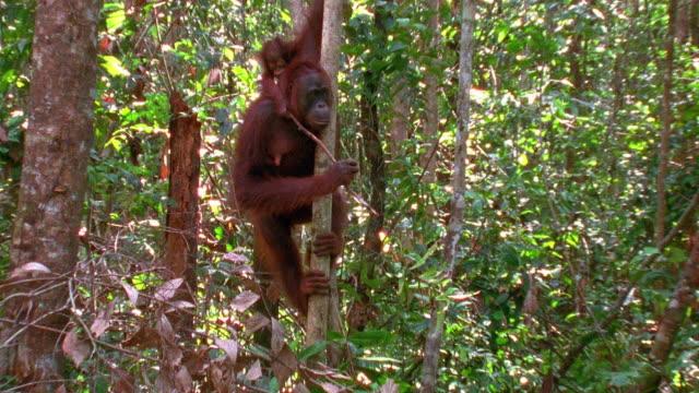 Medium shot zoom in mother orangutan hanging in tree with baby / Indonesia