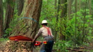 Medium shot zoom out man cutting tree in forest with chainsaw and watching it fall / Olympic Peninsula, Washington