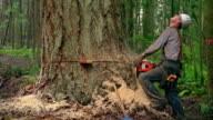 Medium shot zoom out man cutting tree with chainsaw and getting out of way as it falls / Olympic Peninsula, Washington