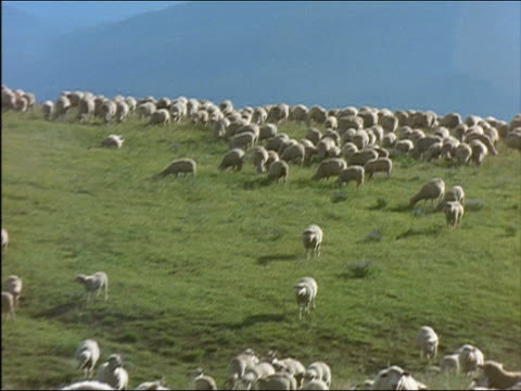 Medium shot zoom out pan flock of sheep grazing in countryside / Idaho