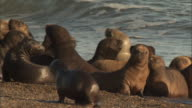 Medium static - A colony of seals gathers on a beach along the Peninsula Valdes in Argentina. / Chubut, Argentina