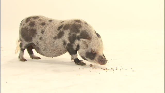 Medium static - A domestic, spotted pig eats food off a white surface.