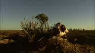 Medium static - An animal skull rests on a mound of dirt in the Simpson Desert / Simpson Desert, Australia