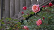 Medium static - Roses bloom near stone columns. / Italy