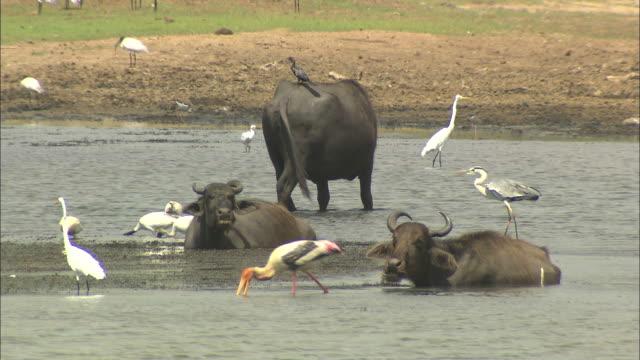 Medium static - Water buffalo wallow as yellow-billed egrets, black-headed ibis and other waterfowl wade nearby. / Sri Lanka