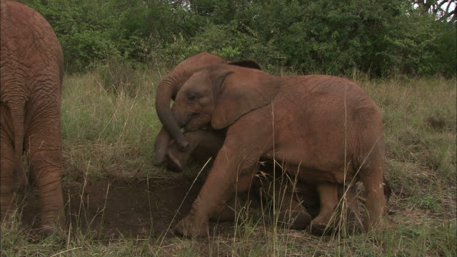 Medium static zoom-in - Two African elephant calves playfully fight with each other / Kenya