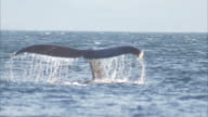 'Medium static-A whale dives and exposes its fluke. / Alaska, USA'