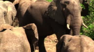 Medium steadicam - A herd of elephants gathers on a riverbank. / Zambia