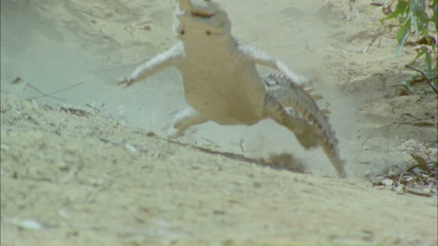 Medium tracking-left - A crocodile runs across dusty ground / Darwin, Australia