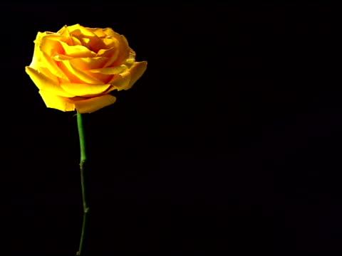 Medium View Of A Single Yellow Rose Framed Left Rack ...
