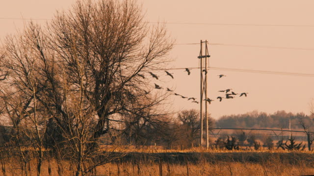 Medium Wide Shot - slow motion - several Sandhill Cranes land in a field behind a row of trees.