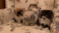 Medium zoom-in - Persian kittens sit in a chair.