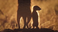 Meerkat and pup looking around in desert Available in HD.