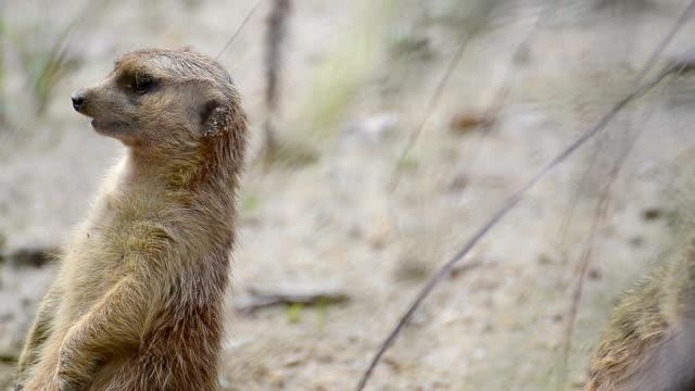 Meerkat animal in wildlife sanctuary