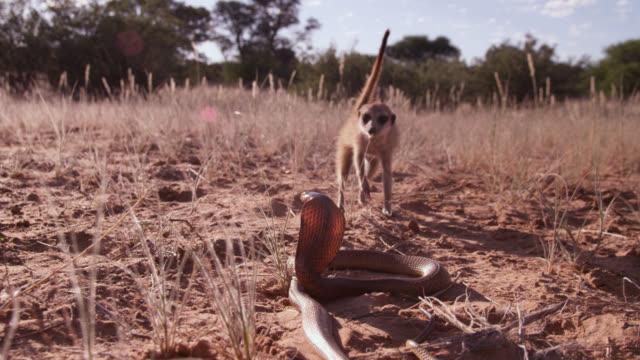 Meerkat (Suricata suricatta) approaches cobra (Naja nivea) in desert, South Africa