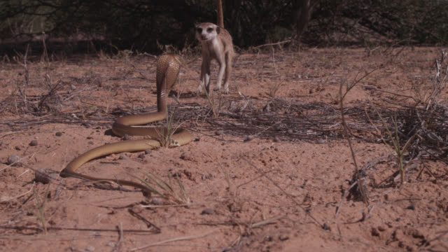Meerkat (Suricata suricatta) backs away from cobra (Naja nivea) in desert, South Africa