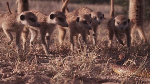 Meerkat (Suricata suricatta) clan retreats from cobra (Naja nivea) in desert, South Africa