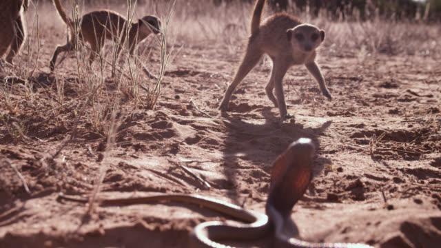 Meerkat (Suricata suricatta) clan scares off cobra (Naja nivea) in desert, South Africa