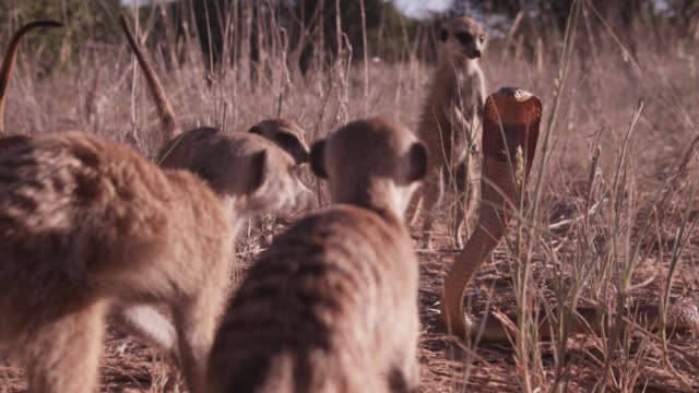 Meerkat (Suricata suricatta) clan surrounds cobra (Naja nivea) in desert, South Africa
