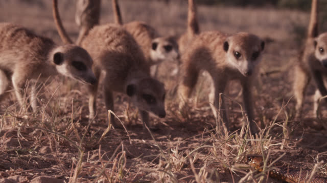 Meerkat (Suricata suricatta) clan surrounds cobra (Naja nivea) in desert, South Africa