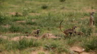 Meerkat family digging and foraging, Kgalagadi Transfrontier Park, South Africa
