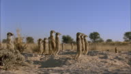 Meerkat family stand alert at entrance to burrow Available in HD.