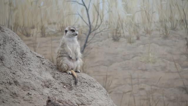 Meerkat in zoo exhibit