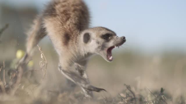 Meerkat (Suricata suricatta) jumps away from striking cobra (Naja nivea) in desert, South Africa