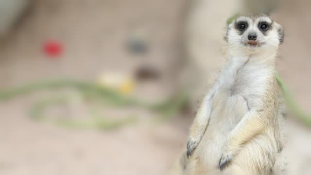 Meerkat Standing, 4K(UHD)