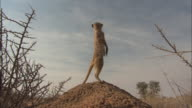 A meerkat stands alertly atop a dirt mound.