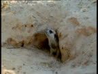 Meerkat sticks head out of burrow then retreats back inside, Kalahari Desert