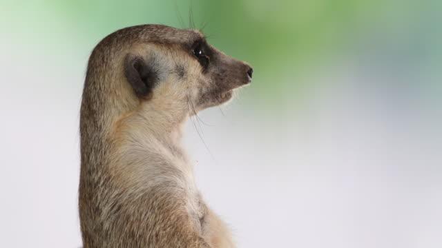 4K: Meerkat