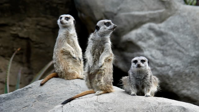 Meerkats on guard.