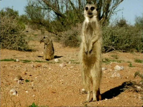 Meerkats (Suricata suricatta) playing behind adult, Namaqualand, South Africa