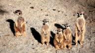 HD: Meerkats Posing
