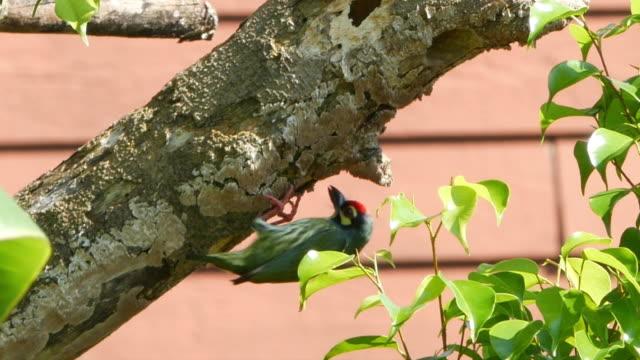 Megalaimidae vogels een nest bouwen op boom