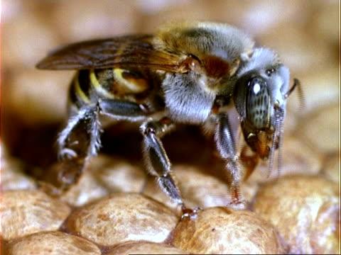 Melipona compressipes Bee, CU bee regurgitating nectar, Panama, Central America