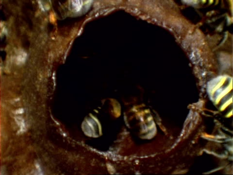 Melipona compressipes Bee, MCU bees at hive entrance, zoom in to BCU bee in honey pot, Panama, Central America